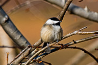 Chickadees & Nuthatches