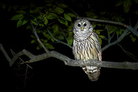 Barred Owls - May 2013