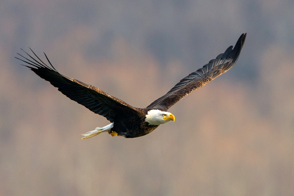 American Bald Eagle at Conowingo Dam, Maryland