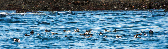 Group of Puffins along Island Shoreline