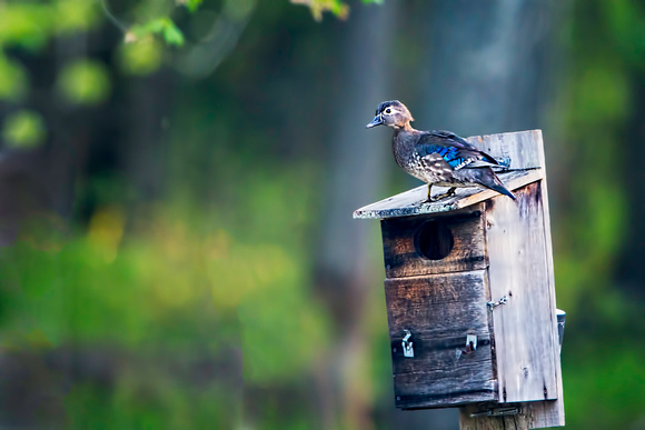 Hen Wood Duck on Nesting Box at Huntley Meadows