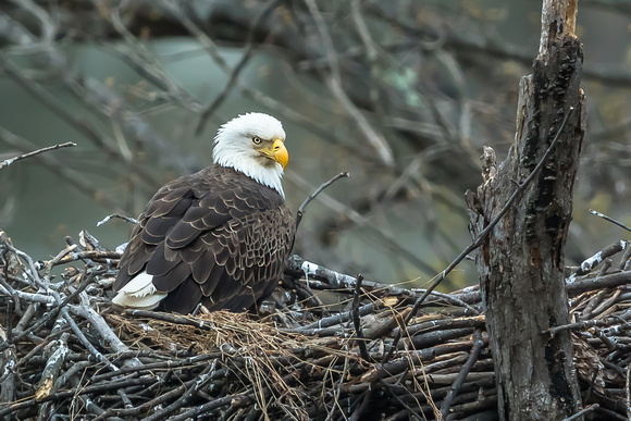 American Bald Eagle on Nest