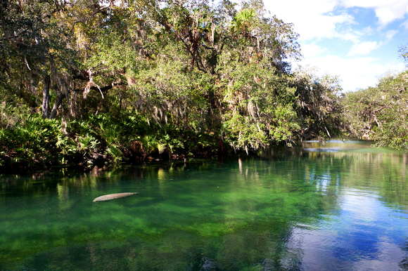 Blue Spring and One Manatee