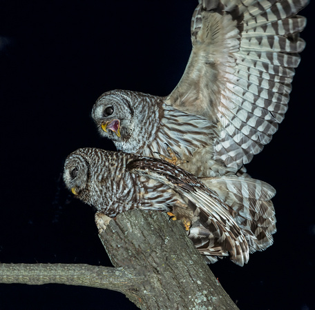 Barred Owls Mating