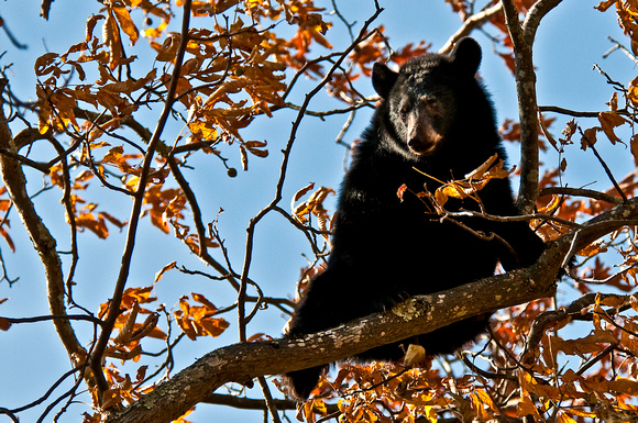 Black Bear in Shenandoah National Park