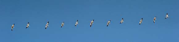 Snow Geese in Flight Pano