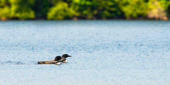 Loons on Long Lake