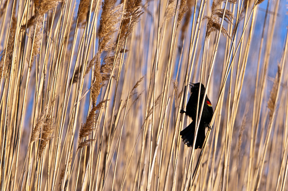 Red winged Blackbird in Reeds