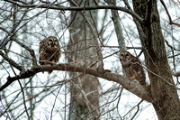 Bared Owls - 2014 03 22